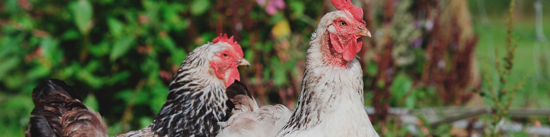 bandeau-poulet